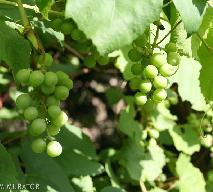 Jakie właściwości mają winogrona?