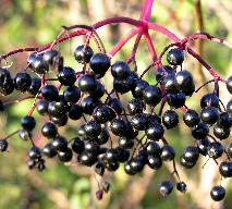 Przecier z owoców czarnego bzu - leczniczy, w sam raz na zimę
